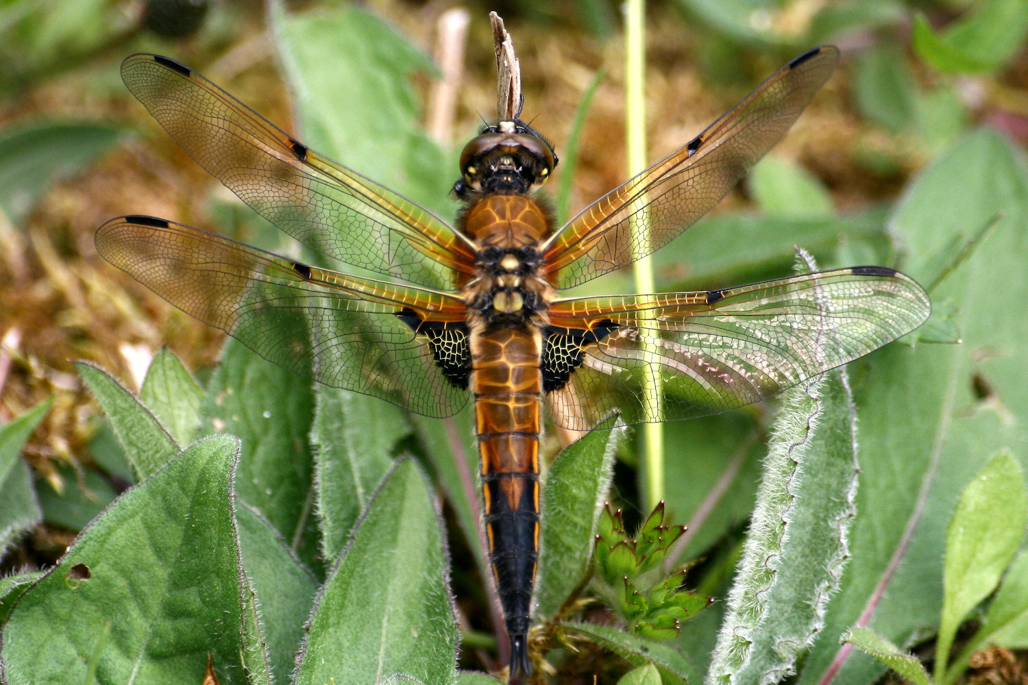 Dragonfly in Risley Moss